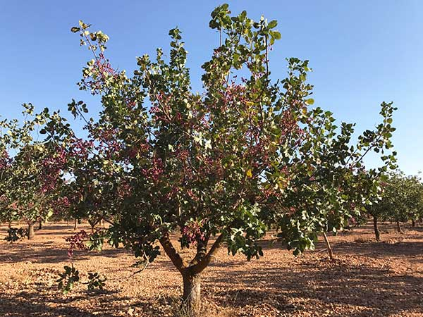 arbol pistachero o alfoncigo pistachero