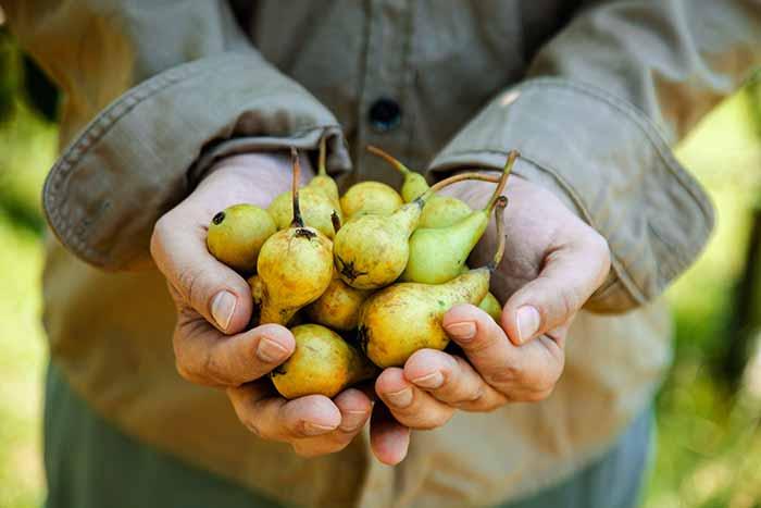 como cultivar peras
