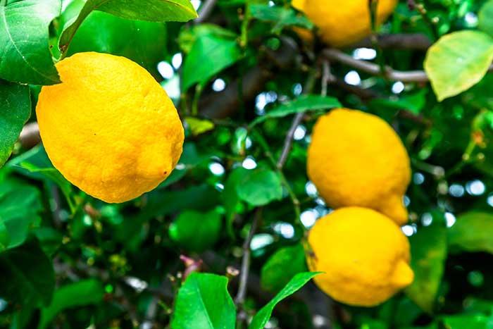 el cultivo del limon limon, sus propiedades nutricionales