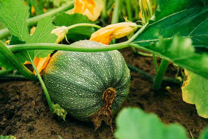 como cultivar calabacin